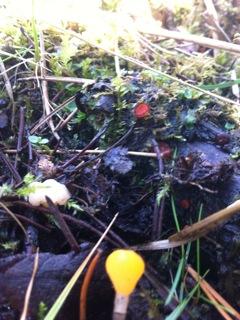 3 svampe i et foto, gul nøkketunge, frynset skjoldbæger og stor dyndskive