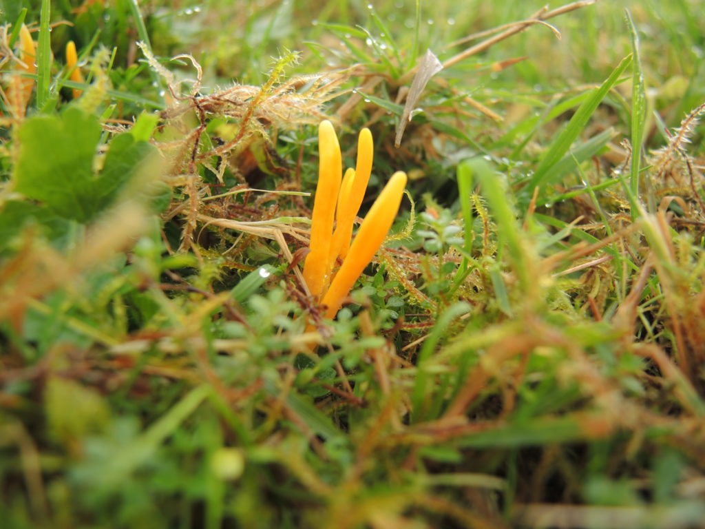 Orangegul køllesvamp Foto: Hanne Petra